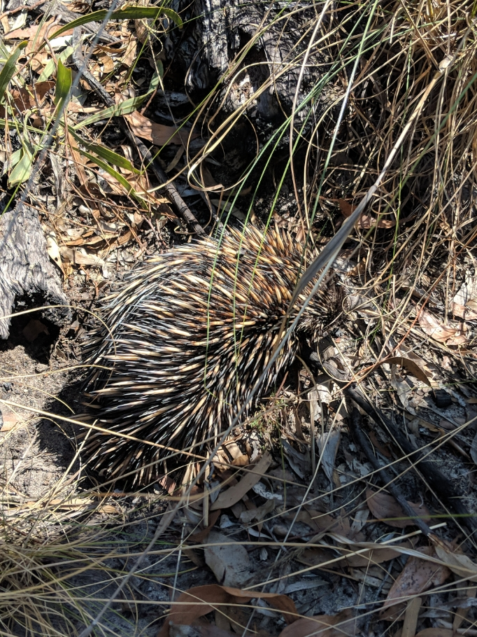 Echidna at Isla Gorge National Park