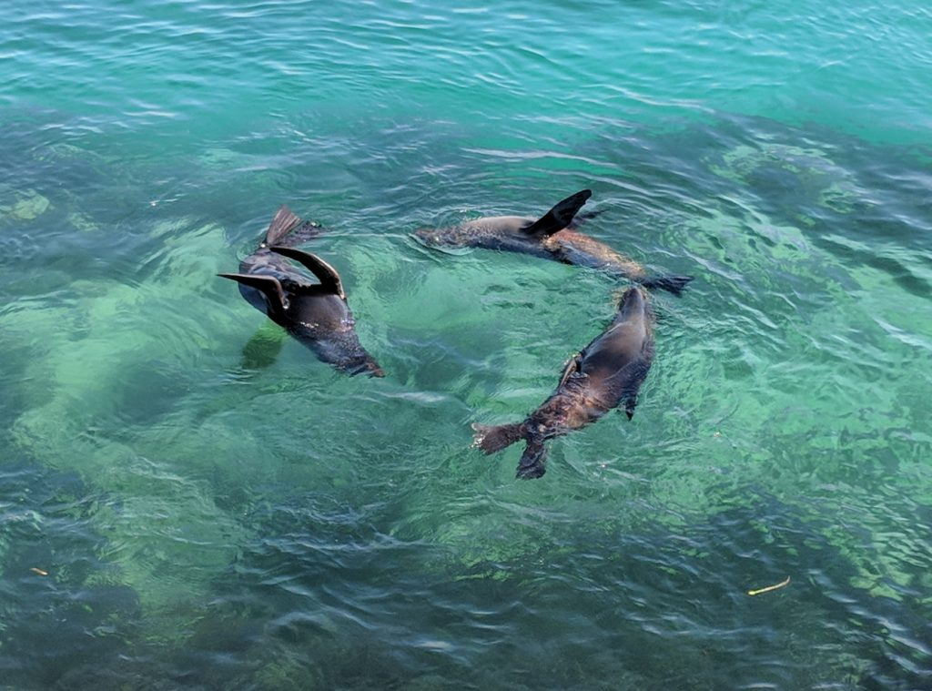 NZ Fur Seals Narooma NSW